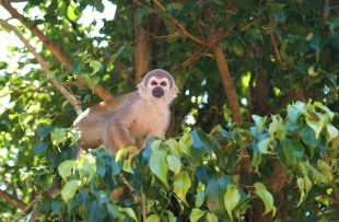 Northern Amazon monkey