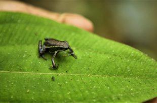 Southern Amazon frog