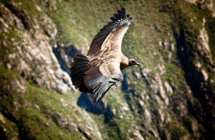 condor-colca-canyon